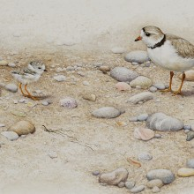 "View ""Piping plover"""